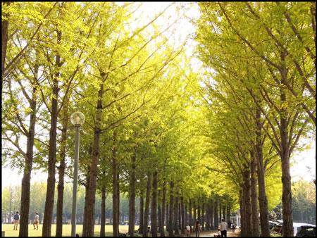 万博記念公園の銀杏並木のアイキャッチ画像