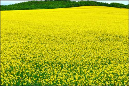 菜の花畑(安平町)アイキャッチ画像