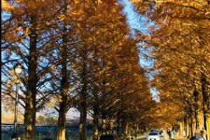 メタセコイア並木の紅葉アイキャッチ画像