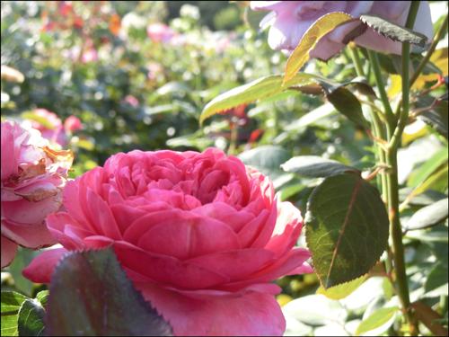 京成バラ園2019の開花状況と見頃時期!アクセス駐車場情報も