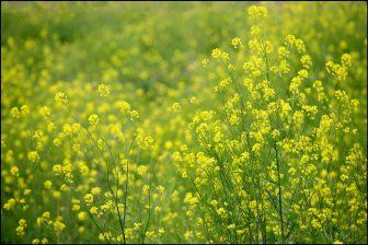 菜の花(安平町)