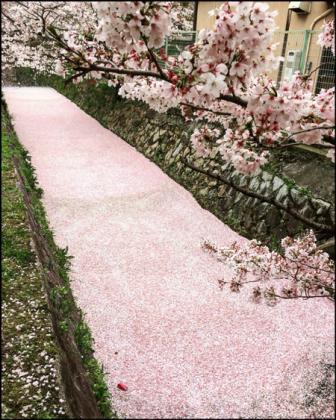 哲学の道の桜絨毯