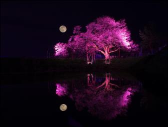夜間の浅井の一本桜