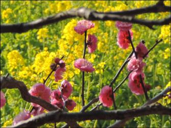 【菜の花と梅】浜離宮恩賜庭園