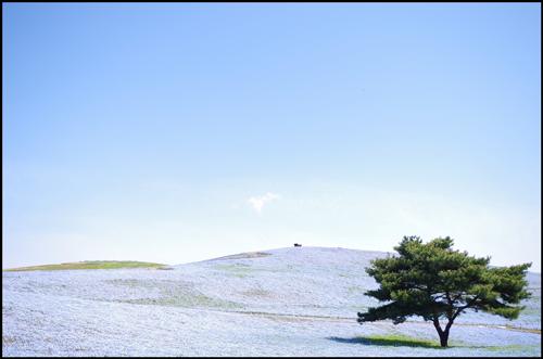 ひたち海浜公園のネモフィラのアイキャッチ画像