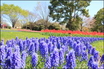 昭和記念公園のムスカリとチューリップ