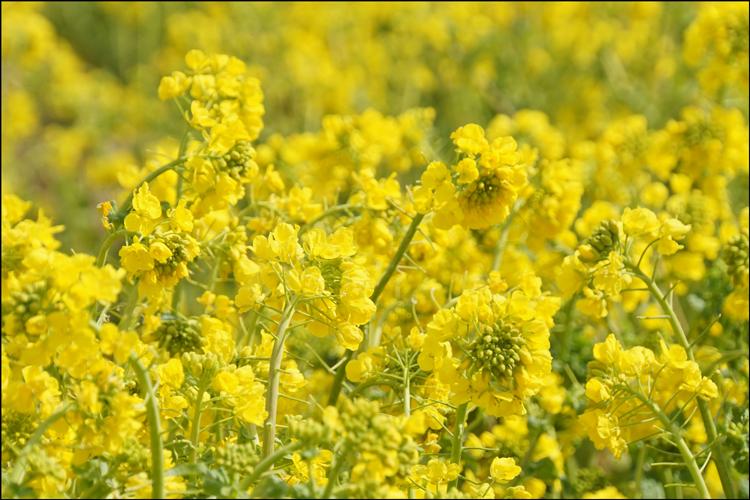 関西 菜の花 畑 関西地方の「菜の花畑」