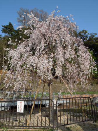 蹴上インクライン台車と船の近くの桜