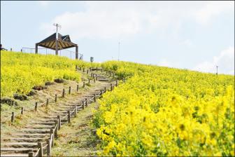 神戸総合運動公園の菜の花畑