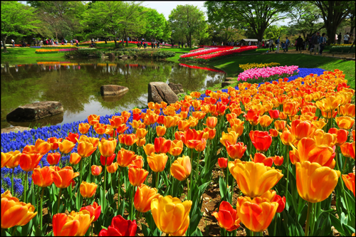 昭和記念公園のチューリップのアイキャッチ画像