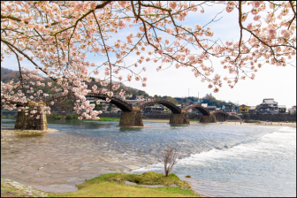 錦帯橋の桜