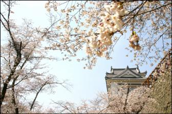 鶴山公園/津山城の桜