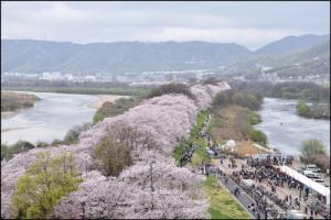 背割堤の桜アイキャッチ画像