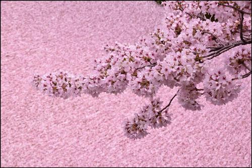 哲学の道の桜アイキャッチ画像