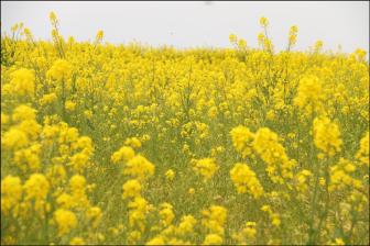 菜の花畑【長井海の手公園-ソレイユの丘】