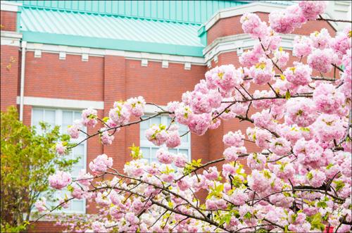 大阪造幣局の桜の通り抜けアイキャッチ画像
