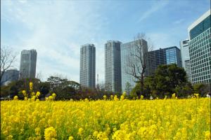 関東の菜の花畑アイキャッチ画像