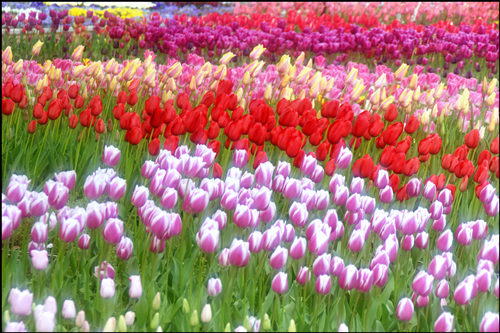 横浜公園チューリップのアイキャッチ画像