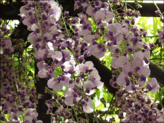河内藤園の藤の花