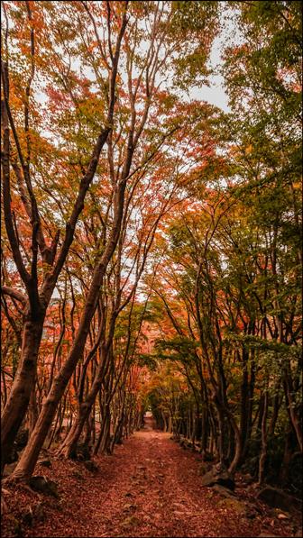 河内藤園の秋の紅葉