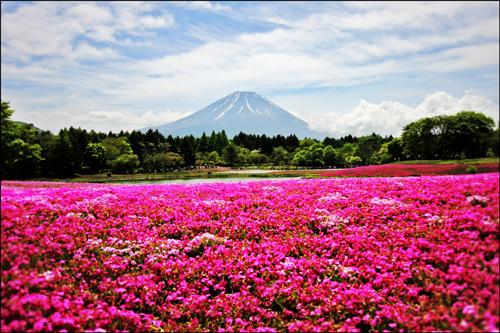 富士芝桜まつりアイキャッチ画像