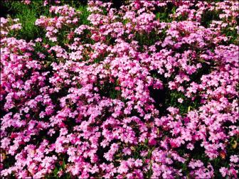 芝桜(富士芝桜まつり)