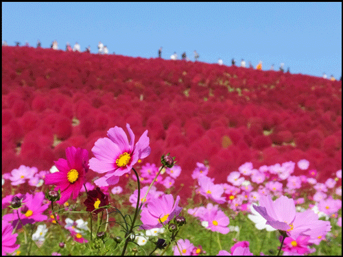 ひたち海浜公園のコスモスのアイキャッチ画像
