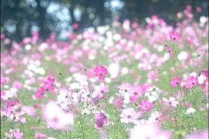 昭和記念公園コスモスのアイキャッチ画像