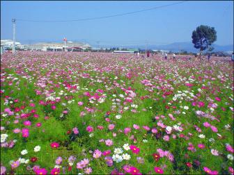 朝倉市のコスモス