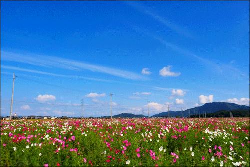 野田町コスモス畑のアイキャッチ画像