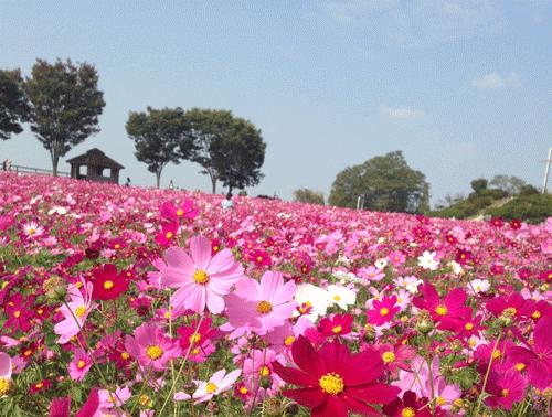 愛知牧場コスモスのアイキャッチ画像