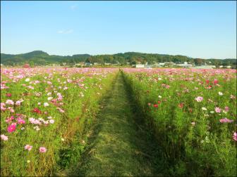 益子町のコスモス畑