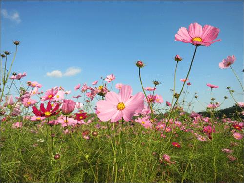 益子町のコスモス畑のアイキャッチ画像