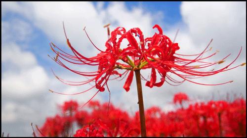 関西地方の彼岸花のアイキャッチ画像
