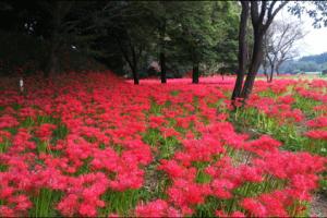 七ツ森古墳群の彼岸花のアイキャッチ画像