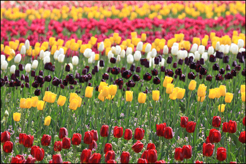世羅高原農場のチューリップ畑アイキャッチ画像(中国地方のチューリップの名所)