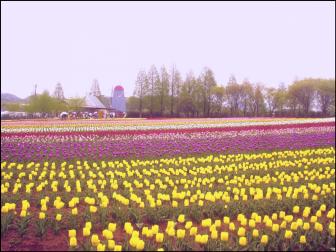 世羅高原農場のチューリップ畑